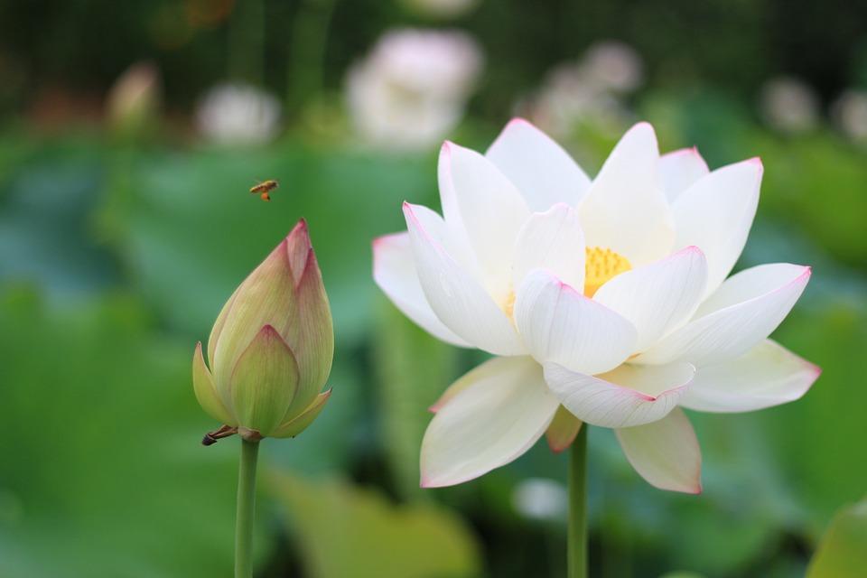 lotus-963633_960_720.jpg